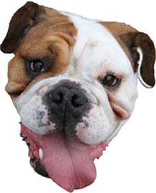 Bulldog LOWRES